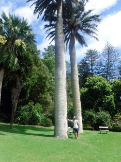 Big palms at Mansion House Bay