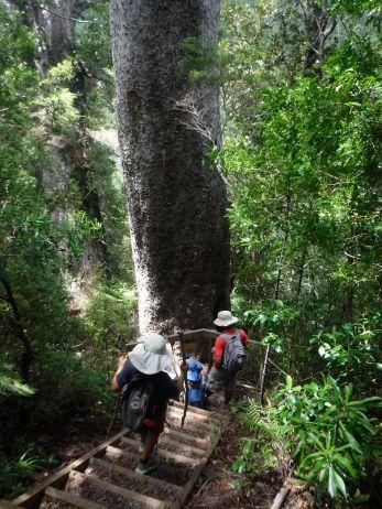 giant Kauri