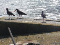 Oystercatcher family