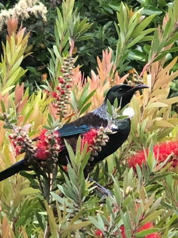 This guy is out the kitchen window- the famous Tui!